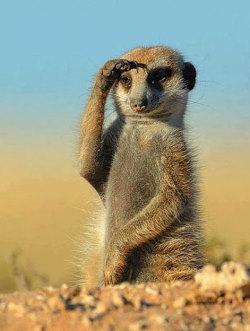 meerkat suricata suricatta horizon predators