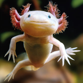 axolotl mexican walking fish